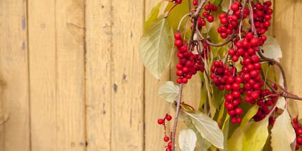 Santé : la Schisandra, la plante aux mille vertus